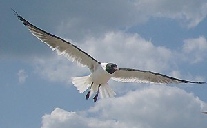 outer-bank-seagull